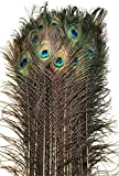 Eyed Peacock Tail Feathers 30-35'' per 50