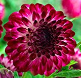 Caproz Pizzazz Decorative Dahlia 2 Bulb Clumps - NEW!