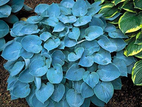 Hadspen Blue Hosta  Heavy Potted 1 Qt Plant  Perennial  Medium Hosta