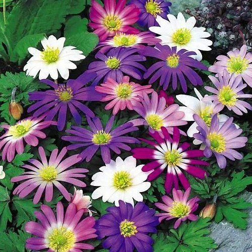 10 Anemone Blanda Mix Color Flower Bulb Perennial Spring Summer Blooming