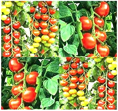 25 TUMBLER CHERRY GRAPE Tomato seeds HEIRLOOM GREAT 4 BASKET EXCEPTIONALLY SWEET