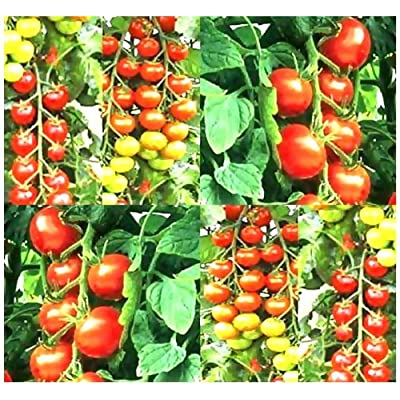 25 Tumbler Cherry Grape Tomato Seeds Heirloom Great 4 Basket Exceptionally Sweet : Vegetable Plants : Garden & Outdoor