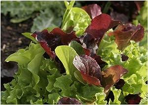David's Garden Seeds Lettuce Mix Encore 2369 (Multi) 500 Non-GMO, Open Pollinated Seeds