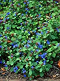 Perennial Farm Marketplace Ceratostigma plumbaginoides ((Lead Wort) Perennial, Size-#1 Container, Peacock Blue