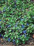 Perennial Farm Marketplace Ceratostigma plumbaginoides (Lead Wort) Perennial, Size-#1 Container, Peacock Blue