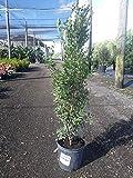 Eugenia foetida, Spanish Stopper - 3 Gallon Live Plant - 4 pack