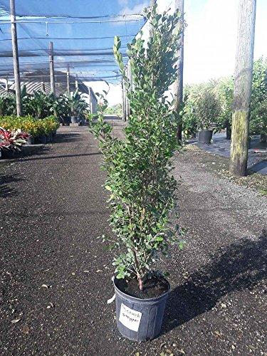 Eugenia foetida, Spanish Stopper - 3 Gallon Live Plant - 4 pack by PlantVine