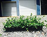 Asiatic Jasmine Minima Qty 40 Live Plants Asian Ground Cover Fully Rooted with Soil