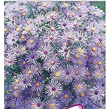 The Best Seller Blue Aster Alpinum Perennial Herb Flower Seeds, Original Pack, 50 Seeds / Pack, Fast Growing Plant.