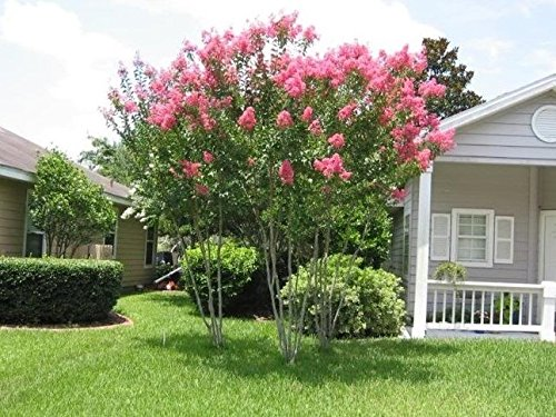 Miami Pink Crape Myrtle Tree - 2-4 Feet Tall - Full Gallon Pot by Amazing Plants