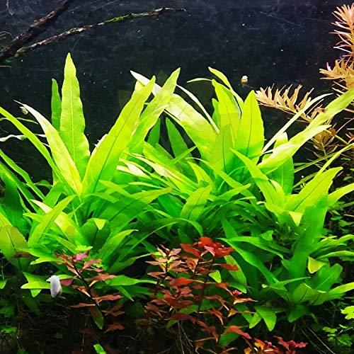 Mainam Hygrophila Salicifolia Bundle Freshwater Background Live Aquarium Plants Decoration
