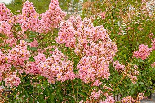 Sioux Crape Myrtle - Size: 4-5', Live Plant, Includes Special Blend Fertilizer & Planting Guide by PERFECT PLANTS (Image #3)