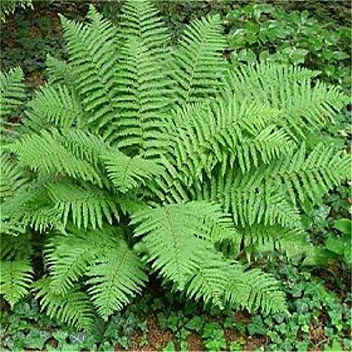 100pcs fern seeds Bracken seed perennial Beautiful ornamental plants Bonsai Flower seeds Novel plant for home garden pot herbs