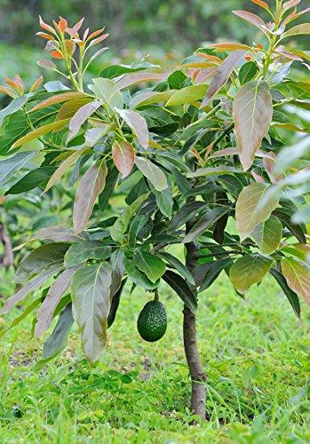 SRUSHTI TRADERS Avocado Grafted Live Plant - Set of 2