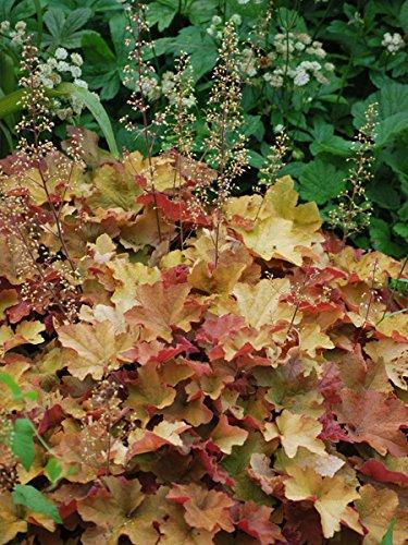 (Perennial Farm Marketplace Heuchera v. 'Caramel' ((Coral Bells) Perennial, Size-#1 Container', Golden Apricot Foliage)