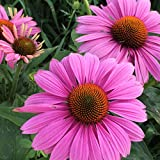 Purple Coneflower (Echinacea purpurea) Seed Balls, Fall or Spring Planting, Bulk Seed Bombs (50)