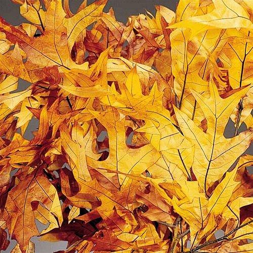 Preserved BrownTone Oak Leaves 25ポンドケース B01HNZ1T2M
