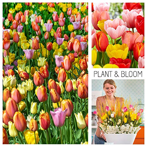 Plant & Bloom Tulip Flower Bulbs from Holland, 35 Bulbs - Tulip Darwin Hybrid Mixed Colours - Easy to Grow - for Fall Planting in Your Garden - Top Dutch Quality - Orange, Pink Blooms - Landscape Bag (Perennials That Bloom From Spring To Fall)