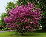 10 Seeds Cercis siliquastrum Judas Ornamental Yard Tree
