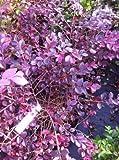 Crimson Fire Fringe Flower (Loropetalum chinense)
