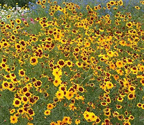 - 300 Seeds or 1/10 Plains Coreopsis Dwarf Mix Seed by Zellajake Many Sizes Tickseed Wildflower #265