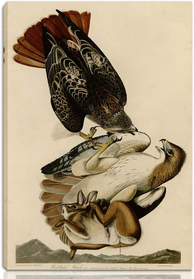 Berkin Arts John James Audubon Stretched Giclee Print On Canvas-Famous Paintings Fine Art Poster-Reproduction Wall Decor Ready to Hang(Red Tailed Hawk)#NK