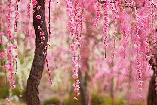 Amazon Com Beautiful Spring Pink Flowers Bloom Trees Natural
