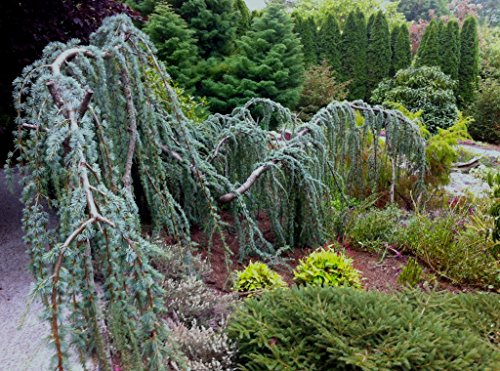 Weeping Blue Atlas Cedar 3 - Year Live Tree by Japanese Maples and Evergreens (Image #8)