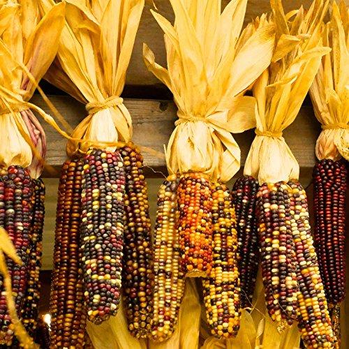 Ornamental Indian Corn Garden Seeds - 5 Lb - Non-GMO, Heirloom, Open Pollinated Vegetable Gardening Seeds - Decorative