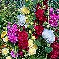 Afco 100 Pcs Random Color Hollyhock Althaea Rose Seeds Garden Planting