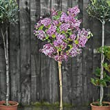 Lilac Tree Grafted Garden Plant Scented Hardy Syringa meyeri 'Palibin' Large Standard Baring Fragrant Colourful Flowers 1 x 2L Pot by Thompson & Morgan
