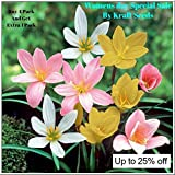 ZEPHYRANTHES LILLY FLOWER BULBS COLLECTION OF FOUR COLOURS ( 2 BULBS EACH COLOURS OF RED , PINK , WHITE AND LAST YELLOW ) BY KRAFT SEEDS