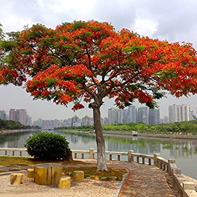 Gilroy 10 Pcs Delonix Regia Seeds Flamboyant Flame Tree Plant Home Office Garden Balcony Decor for Planting for Indoor and Outdoor : Garden & Outdoor