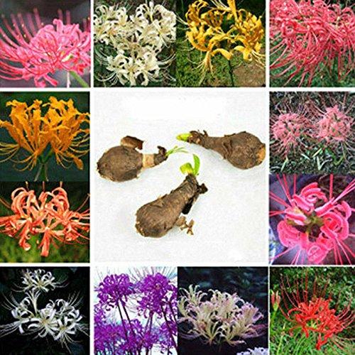 New 5x Bana Flower Seeds Bulbs Lycoris Radiata Bulb Garden Yard Plants Gardening