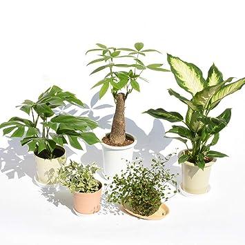 Amazon|観葉植物お試し5鉢セッ...