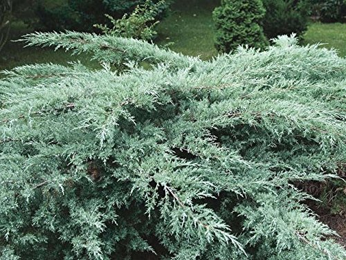 Grey Owl Spreading Juniper - Live Plant - Trade Gallon Pot