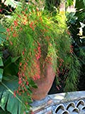 "9EzTropical - Fireworks Fountain Grass - 1 Plants - 1 Feet Tall - Ship in 3"" Pot"