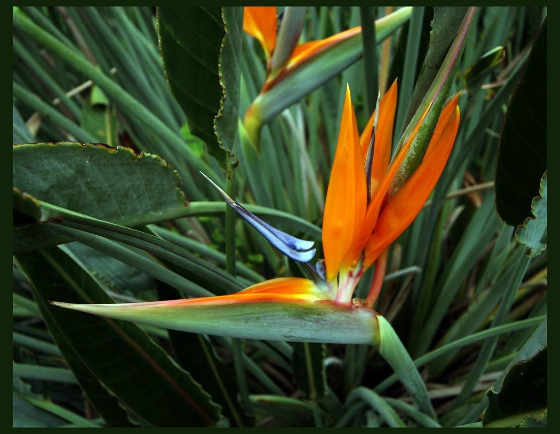 Amazon.com : Bird of Paradise live 1-2 ft plant orange blue flower ...