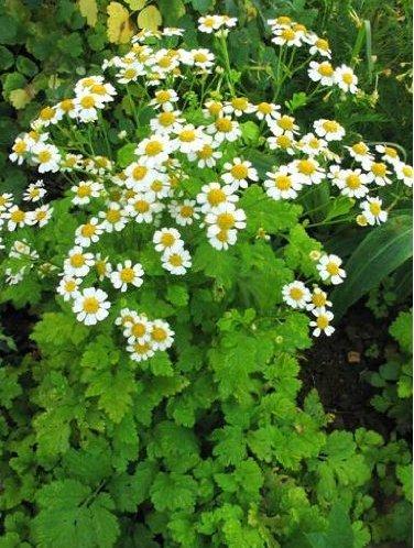 - Nianyan Herb Feverfew Tanacetum Parthenium 100+ Perennial Seeds
