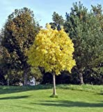 American Sycamore- Large, Branched Sycamores in Containers - Ready to Give Shade and Color