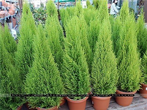 100pcs árboles de coníferas Cypress Platycladus orientalis semillas FPR semillas del árbol Bonsai planta jardín de casa: Amazon.es: Jardín