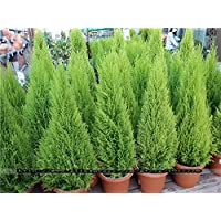 100pcs árboles de coníferas Cypress Platycladus orientalis semillas FPR semillas del árbol Bonsai planta jardín de casa