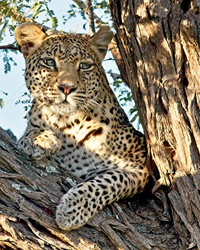 00 Africa Wall Art Leopard Décor Nature Décor Nature Photography Animal Wall Art Girls Room Décor Wildlife Nursery Décor Wall Art by Gigi Ebert Photography