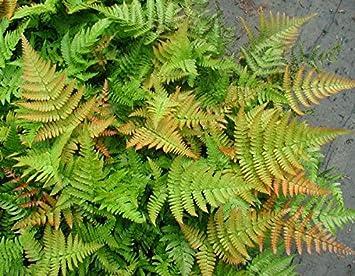 Amazon.com: Dryopteris erythrosora, otoño helecho: Jardín y ...