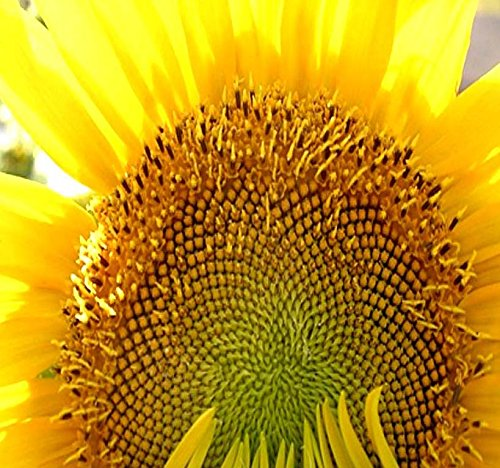 - 1 LB (4,700+ Seeds) Mammoth Grey Stripe Sunflower (Helianthus annuus) - 9-12 Feet Tall Extended Bloom - Non-GMO Seeds By MySeeds.Co (1 LB Grey Stripe Sunflower)