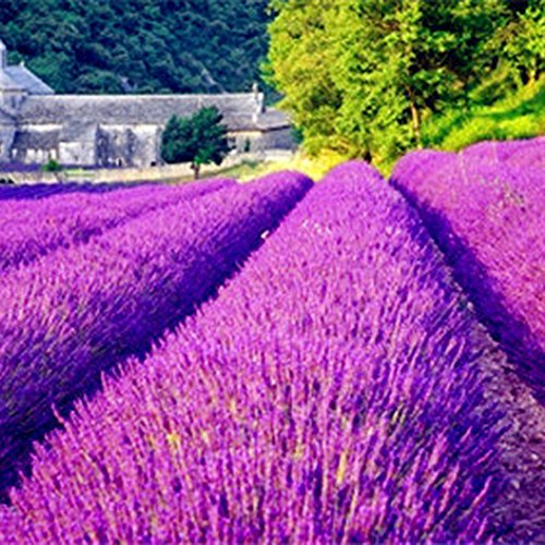 100Pcs/Pack Lavender Herb Seeds Home Balcony Garden Aromatic Plants Flower Seeds