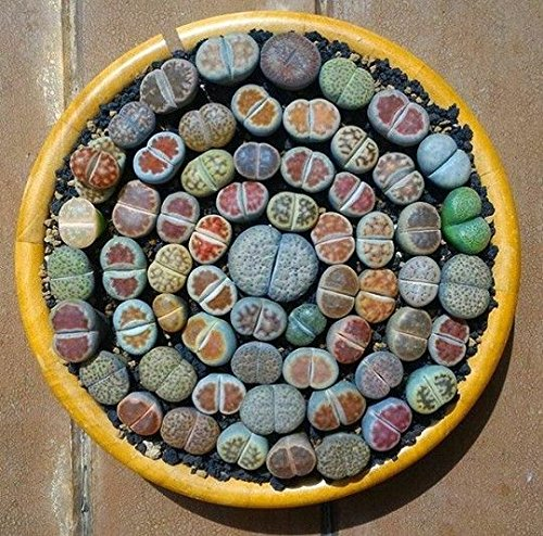 200 Mixed Succulents seeds- Lithops Seeds , Raw Stone for sale  Delivered anywhere in Canada