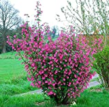 25 Seeds Red-flowering Currant, Redflower Currant Ribes Sanguineum Flowering Bush