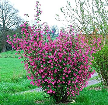 Amazon 25 Seeds Red Flowering Currant Redflower Currant Ribes