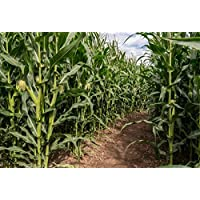 Yeele 10x8ft Green Corn Field Maze Backdrop Rural Farm Crop Plant Cultivation Natural Scenery Photography Background Countryside Farmland Photo Booth Shoot Studio Props